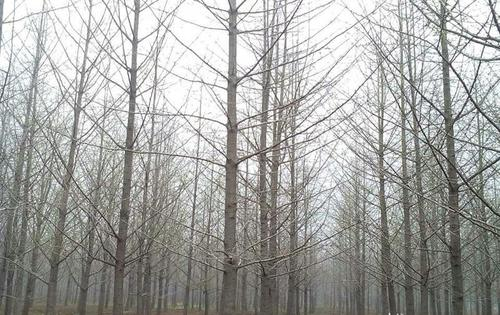 待发的银杏树~胸径20公分8分树