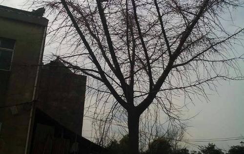 待发的银杏树~胸径30公分精品嫁接苗,出支点4米