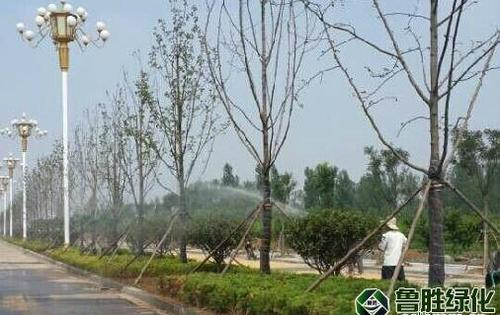 临沂市市政青年路道路绿化项目